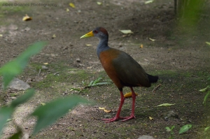 Costa-Rican-Bird-Copyright